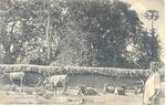 Cowyard, Bullom tribe, Sierra Leone