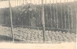 Coconut nursery in Songo town, Botanical Station, Sierra Leone