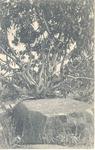 Mango tree growing out of a laterite rock, Sierra Leone