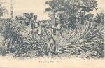 Extracting Palm  Wine, Sierra Leone